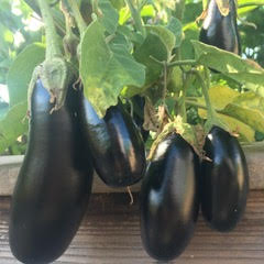 Eggplant from Fertile GroundWorks in Livermore California